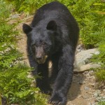 The bear can meal plan