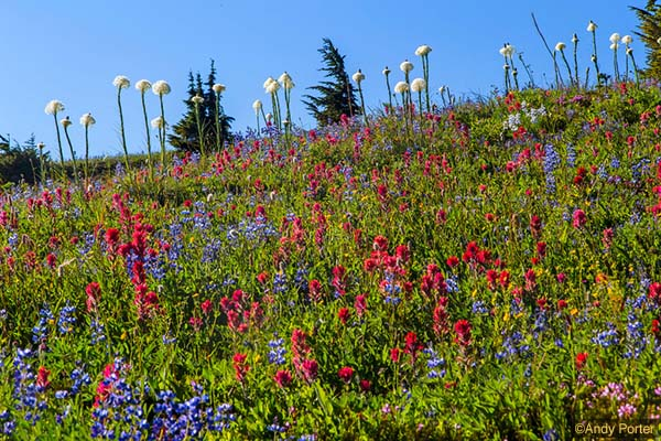 Wildflower display in the Goat Rocks Wilderness copy
