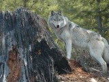 Coexisting with Wolves in Washington