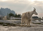 Curious and cautious, Mountain Goats are a fixture in the Enchantments, picture courtesy of Shauna McDaniel