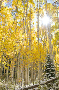 Early Snow and Autumn Aspens - Colorado