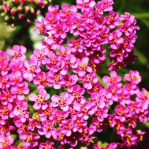 Yarrow_flowers