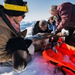 Pregnant Caribou Airlifted Away From Hungry Wolves in BC