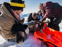 Pregnant caribou airlifted away from hungry wolves in B.C.  Source: news.nationalgeographic.com