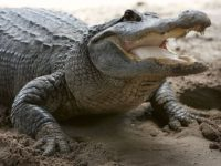 A 2-year-old boy was attacked by an alligator at a Disney resort in Florida.  Photo Source: www.parentherald.com
