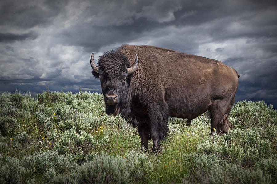 american-buffalo-or-bison-in-yellowstone-randall-nyhof