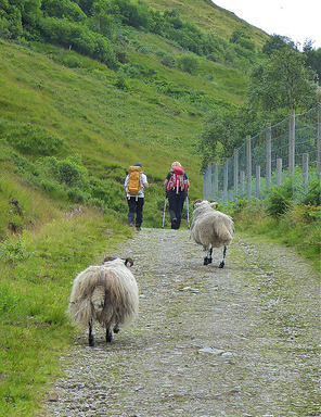 6-sheep-on-trail
