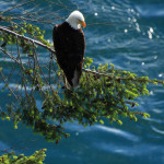 Four Hikes to See Eagles