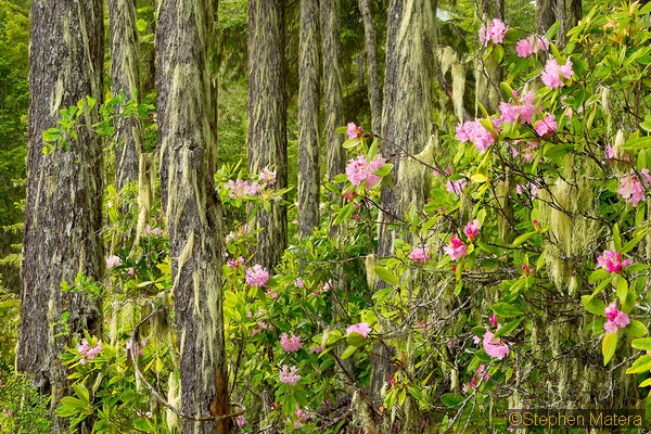 landscape wild pacific rhododendron, olympic national forest, washington matera dfl8-011_std