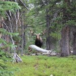 Bull Moose on the Trail