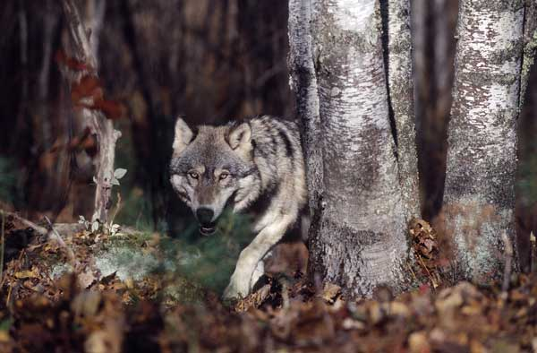 Wolves in Washington 1