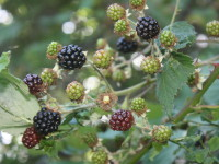 A Berry Abundant Landscape: Foraging for Wild Blackberries