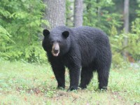 Second bear attack in five months on JBLM raises questions about safety.  Source:  Businessinsider.com