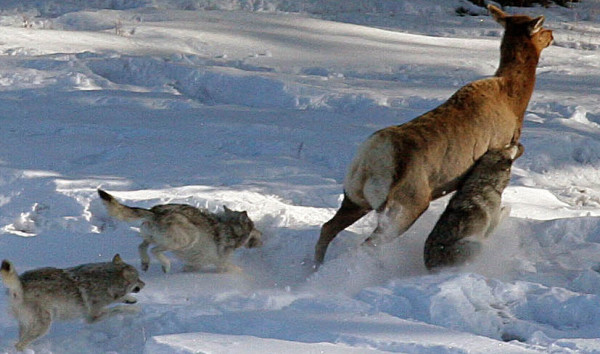 Pregnant Caribou Airlifted Away From Hungry Wolves